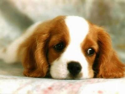 Best Floppy Ears Brown Adorable Dog - free-cute-dog-screensaver_large  2018_472876  .jpg