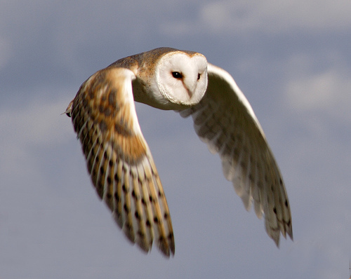 Barn-owl-in-flight-small+from+curious+animals+net_large