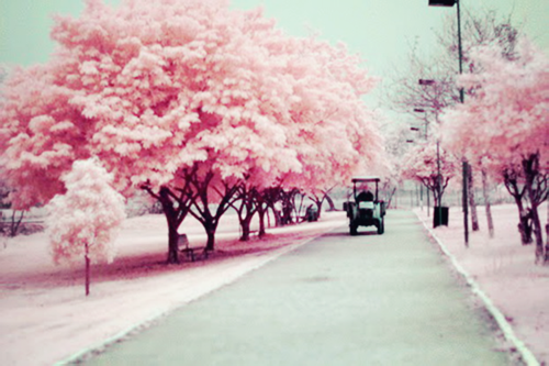 Pink_trees_large