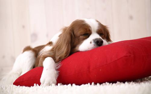 Cachorro-dormindo_large