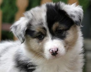 Australian Shepherd Puppy For Sale 300x240 large Dog Breeds For Sale | Cute Puppies For Sale