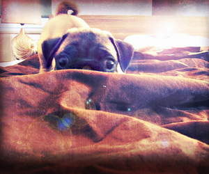bed pug puppy cheeky