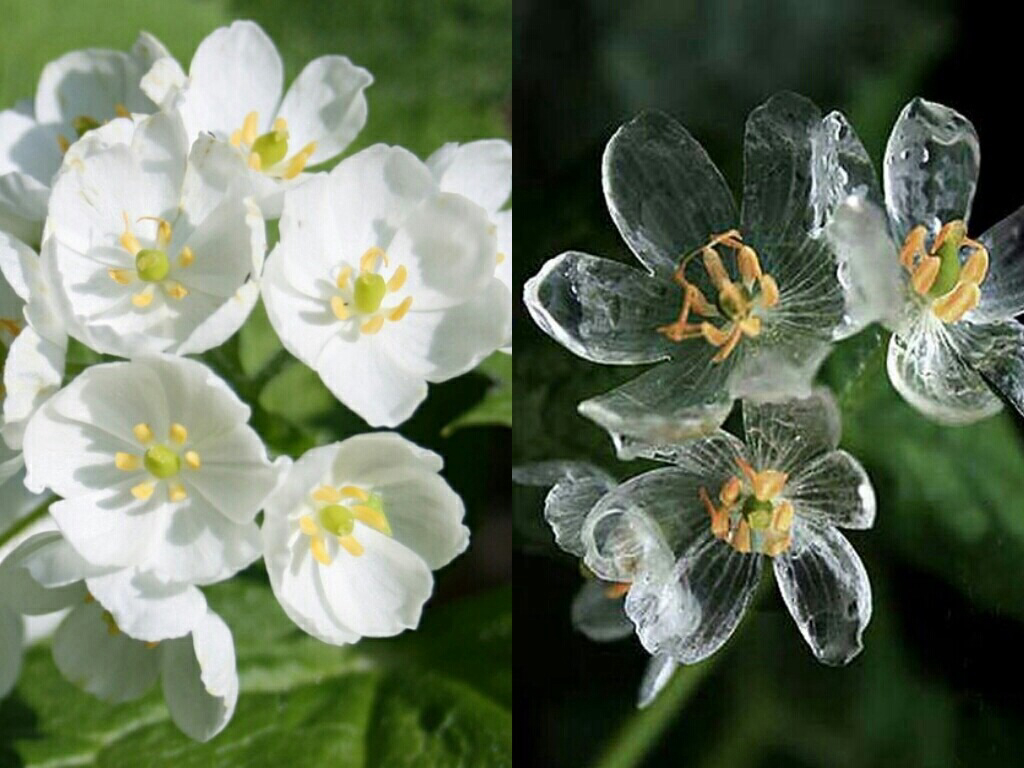 diphylleia grayi transparent when splashed with rain