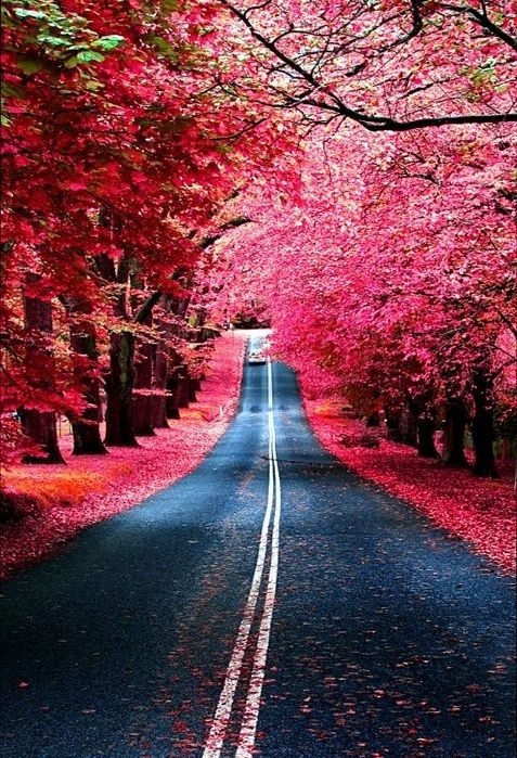 alley, cherry blossum, flowers, photography, pink, road - inspiring picture on Favim.com