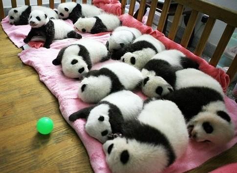Pandas-mtos_large