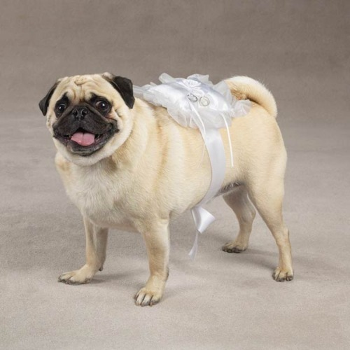 pugs in clothes welcome to idressmypetscom the cutest