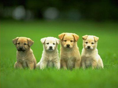 4-cute-puppies-wallpaper-640x480_large