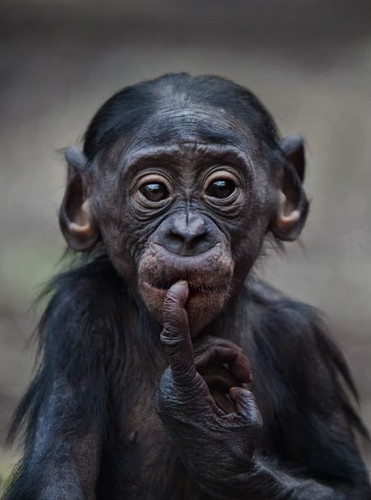 Baby,chimp,cute-0fd7be1be5d88b75d489d07d345d9104_h_large