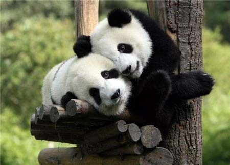 Cute-panda-cubs-together-pandas-17838800-450-324_large
