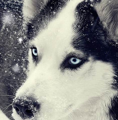 beautiful dog husky snow storm Favim.com 39813 large beautiful, dog, husky, snow, storm   inspiring picture on Favim.com