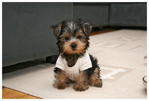 @hughfree_ConnieIM - Página 4 -adorable-dog-puppy-yorkie-Favim.com-177038_large