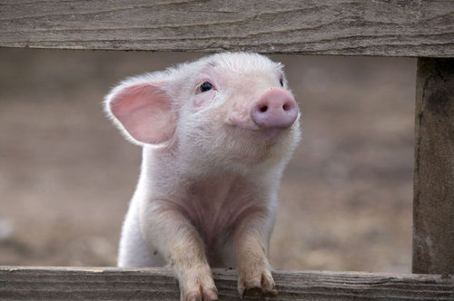Animal-cute-funny-pig-pink-favim.com-128595_large