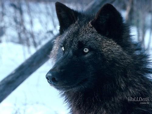 Tundra Wolf, Alaska | Papéis de parede Lobos, fotos, imagens e ...