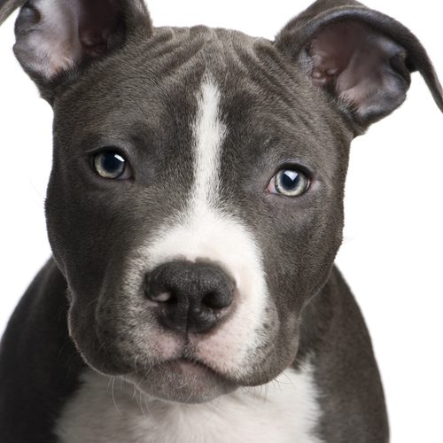 blue nose pit bull puppy large blue noes pitbull   Bing Images