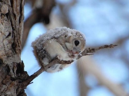 animal, branch, curled up, cute, momonga - inspiring picture on Favim.com