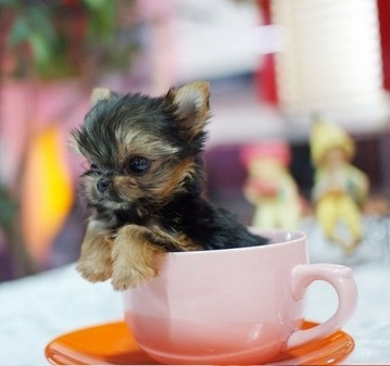 Teacup Yorkshire Terrier puppies for sale in Greater Manchester ...