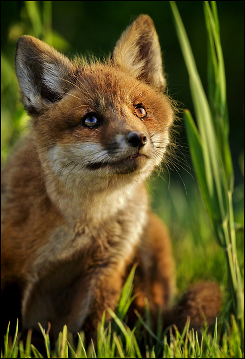 Baby-fox-24429-alt-crop_large
