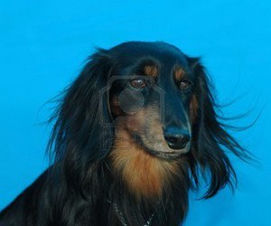long haired doxie