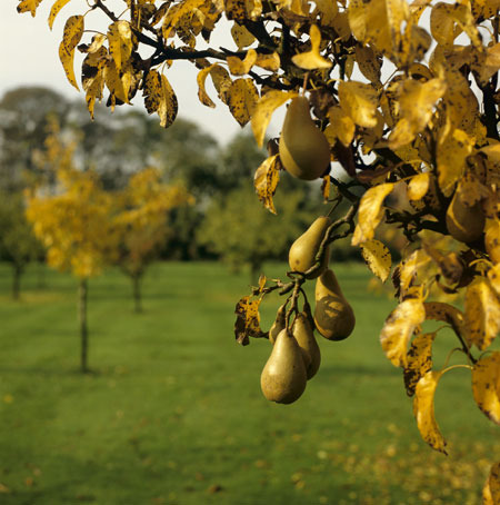 Traditional-orchards-pear-013_large
