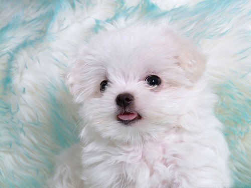 White_puppy_with_cute_tongue_large