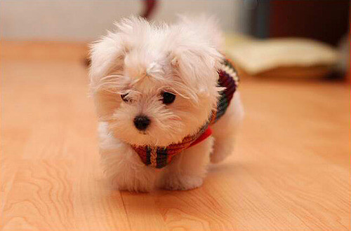 Adorable-cute-fluffy-puppie-favim.com-192368_large