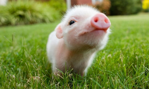 cutest-piggy_large.jpg