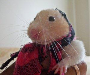 celina hamster cute gipsy
