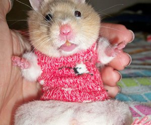 celina hamster cute fat