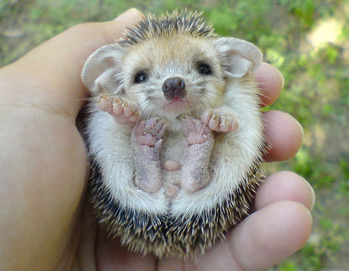 Baby-hedgehog_132022359169_large
