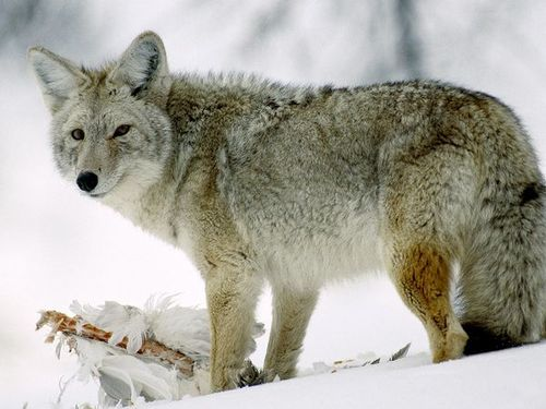 Coyote-glancing_510_600x450_large