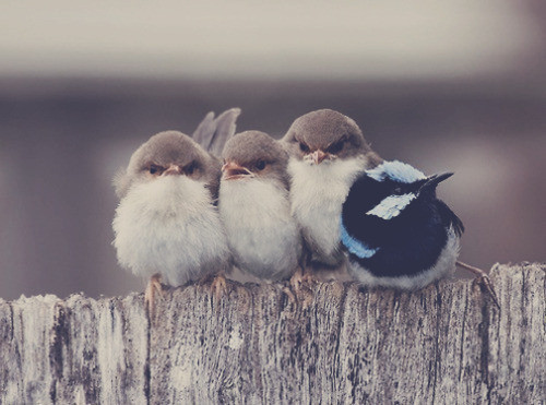 Birds,cute,funny,animal,nature,awh,-7bb3bb2bd6da595531318a3377b7cddf_h_large
