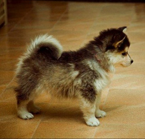 Dogs / Pomsky (Pomeranian + Husky). ADORABLE! | We Heart It