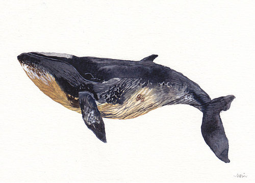 il 570xN.284958983 large Minke Whale Archival Print by unitedthread on Etsy