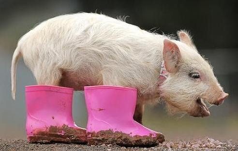 Little-piglet-wearing-dirty-boots_large