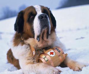 st. bernardshund