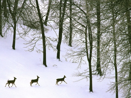 White_tailed_deer_in_snow.sized_large
