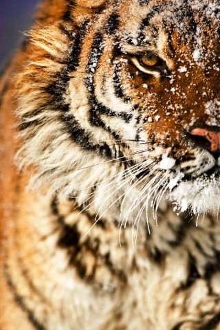 Siberian-tiger-face-180823-320-480_large