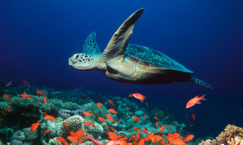Sea-turtle_large