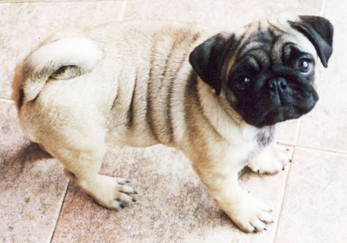 Mops_large