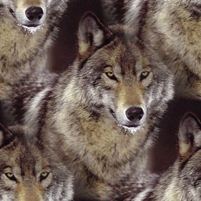 wolf background fill large Wolf Backgrounds   The Spirit Of Wolf | The Spirit of Animals | The Spirit Of Animals