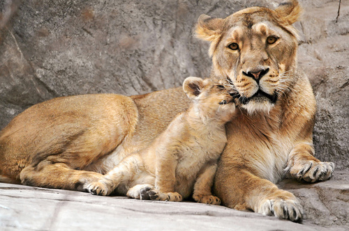 tumblr lwbtdhCrKz1qj27d6o1 500 large «I love you, mom!» (by Tambako the Jaguar)   The Hanging Tree