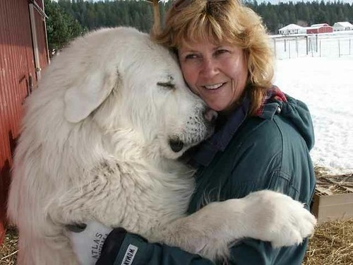 34551122110782523 SUiAy9PZ c large A Girl Can Dream / Great Pyrenees   Ignore the lady   shes just there to show how big these dogs can be!