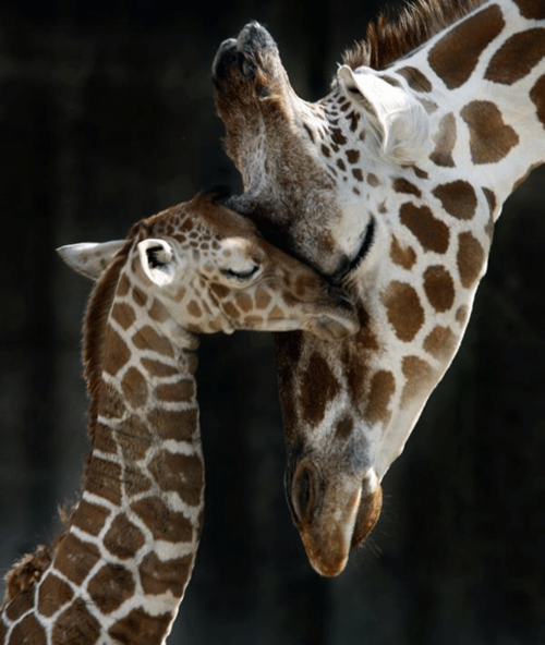 Amazing-photography-giraffe_large