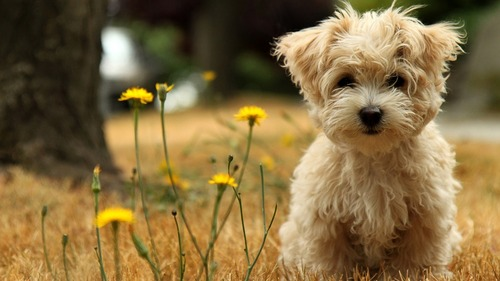 cute puppies added on license free for 216574 large Wallpapers Cute Puppies Added On License Free For 216574 1366x768