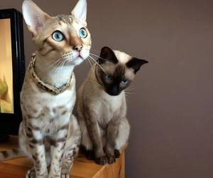 siamese cats cat