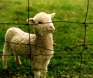 小羔羊嗷嗷磝嗷嗷