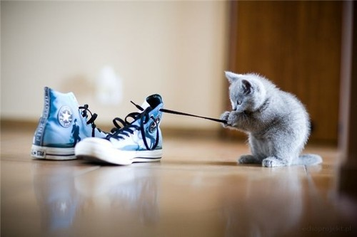 Animal,cat,converse,bubu,cute,kitten,cute-139840db6598e4e766388b37dfff2d9e_h_large