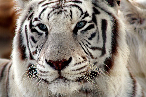 All sizes | tiger 3 | Flickr - Photo Sharing!