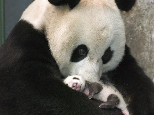 panda-pandas-2890040-1152-864_large