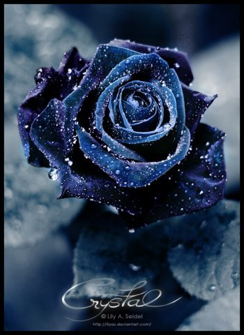 Blue-rose_large